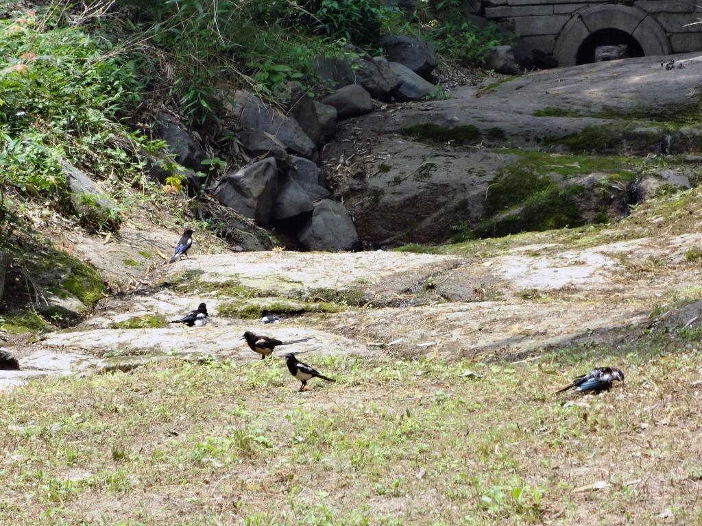 A murder of magpies in Changdeokgung's Secret Garden.