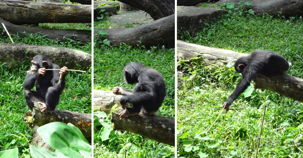 A chimpanzee uses a stick