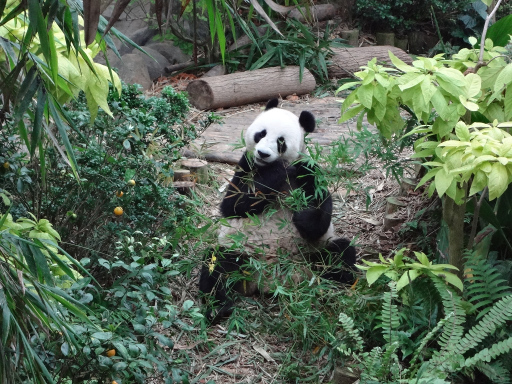 A panda eats shoots and leaves
