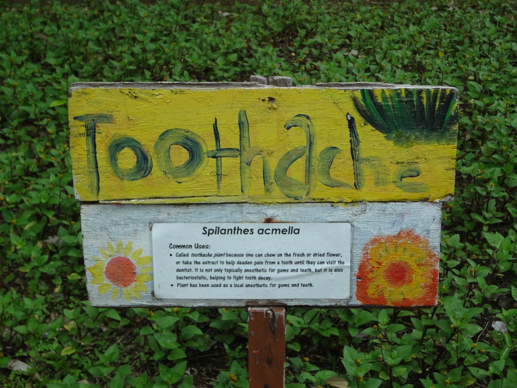 A plant that alleviates toothache