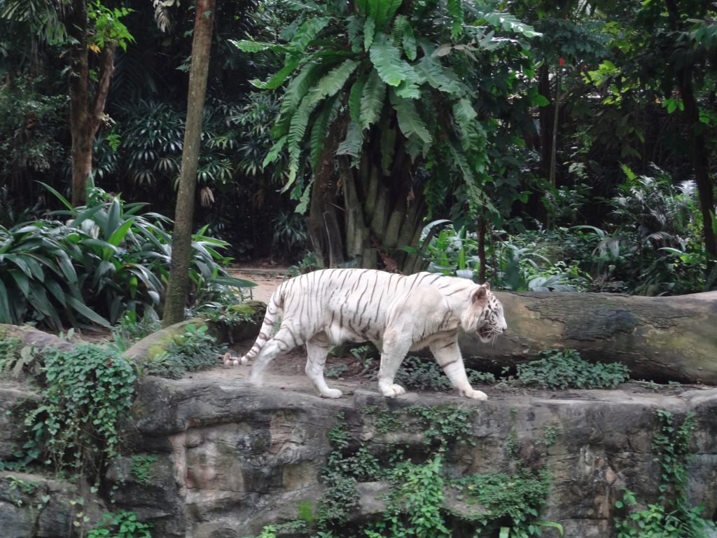 A white tiger roams its habitat.