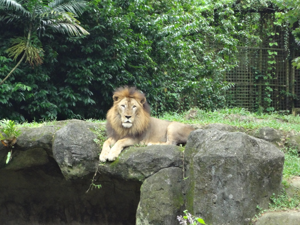 A lion relaxes before feeding time.