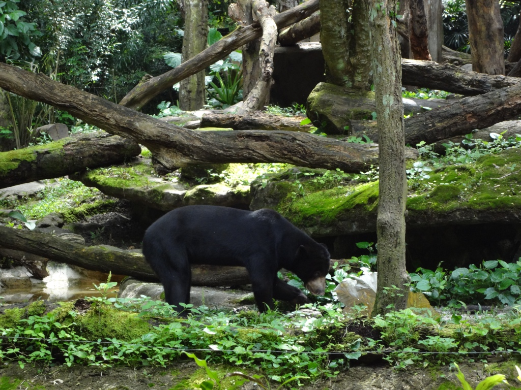 A honey bear, aka a Malayan sun bear