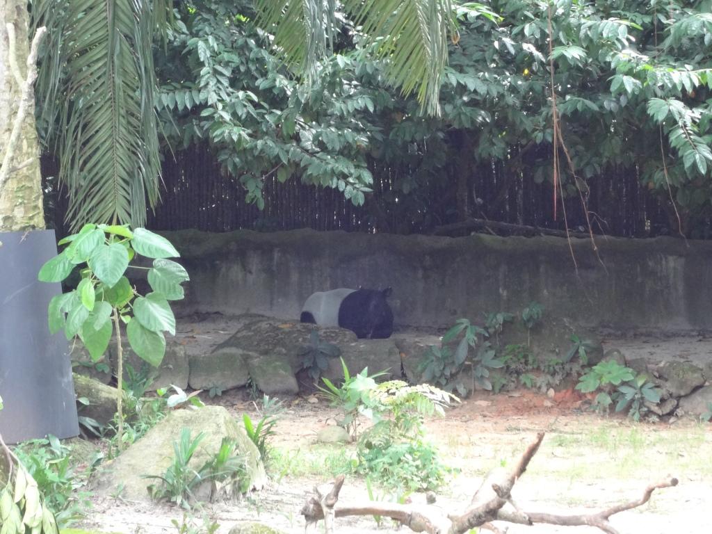 A shy (or overheated) Malayan tapir