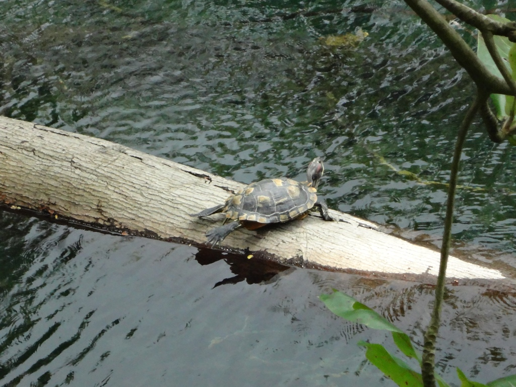 Watching a turtle before he dove