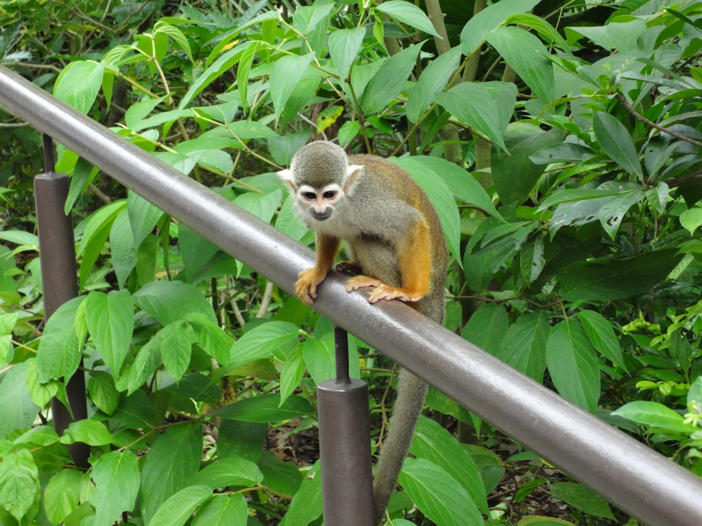 A squirrel monkey