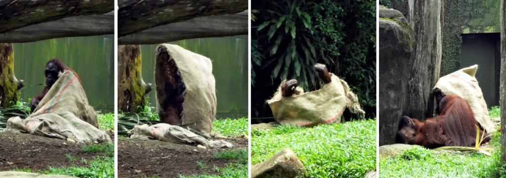 An orangutan rolls in a sack