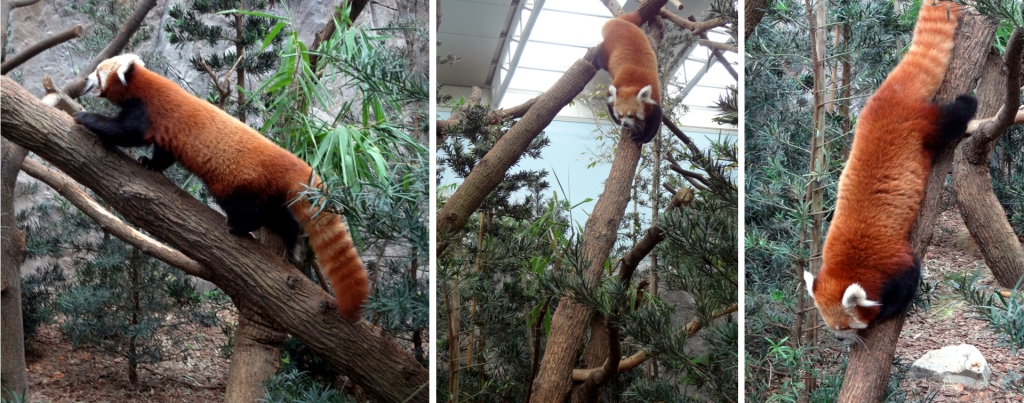 A red panda climbs down a tree